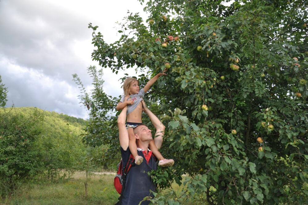 Срываем с папой яблоки в саду на реке Пшада