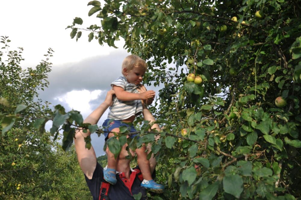 Тёмка с папой срывают яблоки в саду на реке Пшада