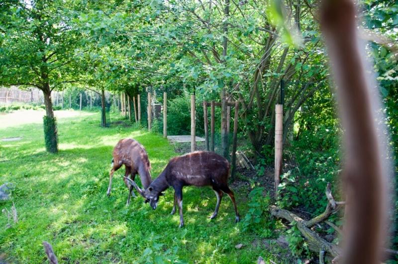 Антилопы в пражском зоопарке
