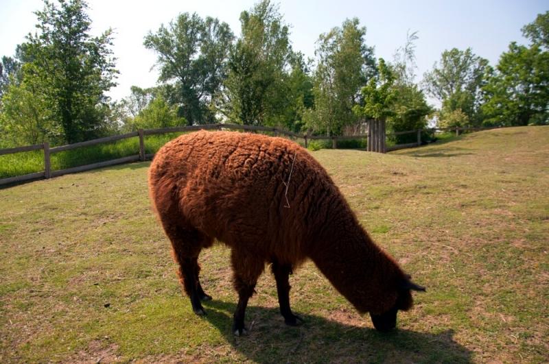 Лама в пражском зоопарке