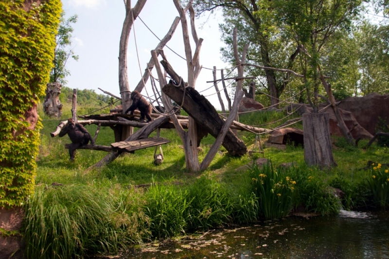 Гориллы вольяжно расхаживают по своим владениям и делают вид что им абсолютно нет ни какого дела до посетителей пражского зоопарка