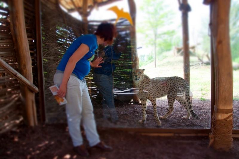 Гепарды за стеклом в пражском зоопарке