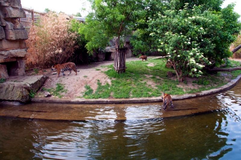 Тигры в пражском зоопарке
