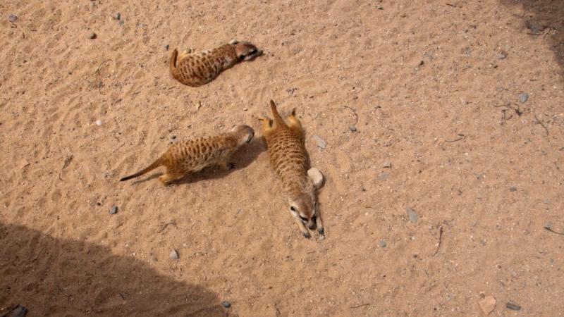 Суррикаты в пражском зоопарке