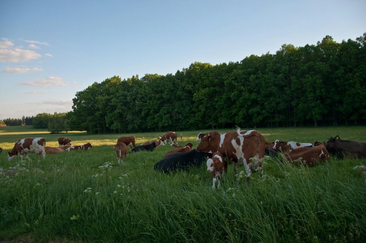 Стадо коров на чешских пастбищах