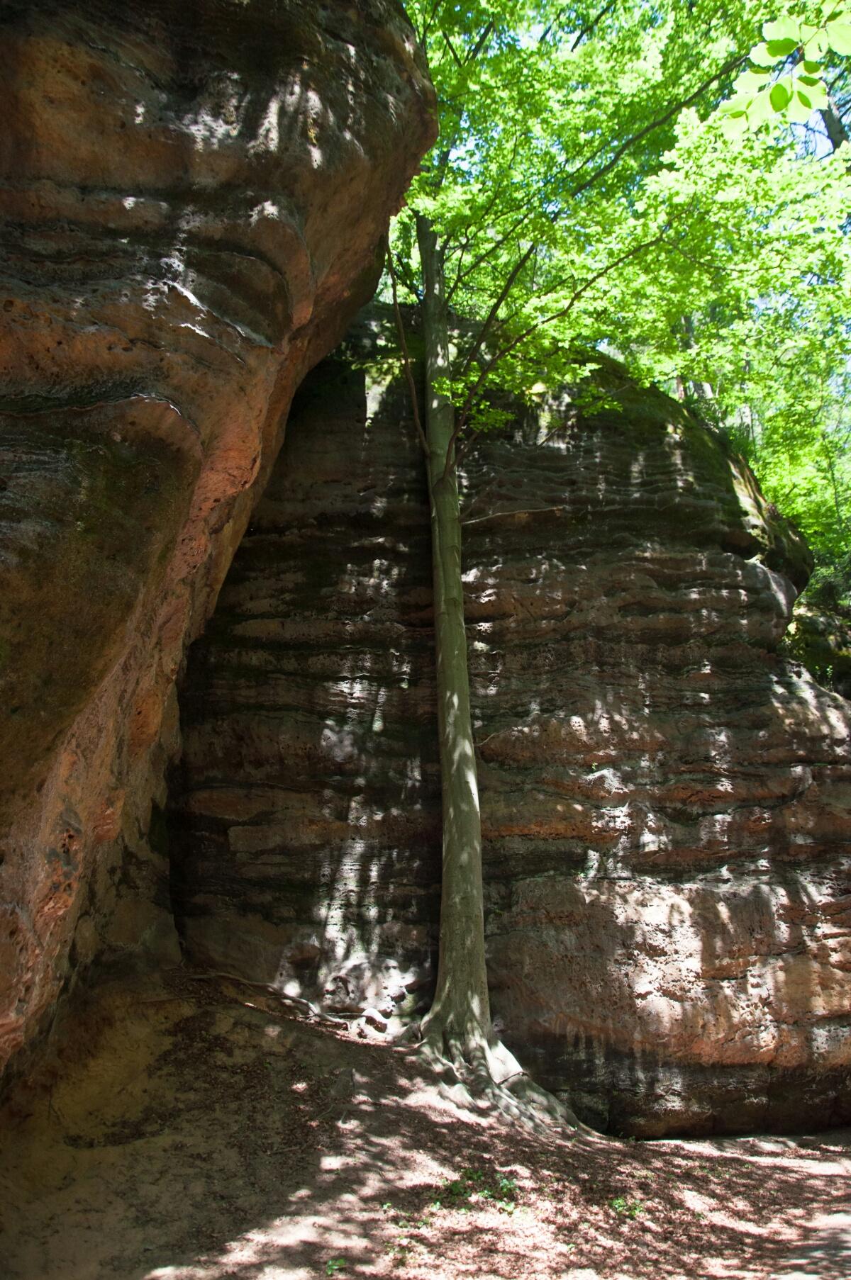 Дерево пробивается к свету меж скал