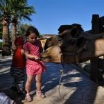 Верблюды и аварии