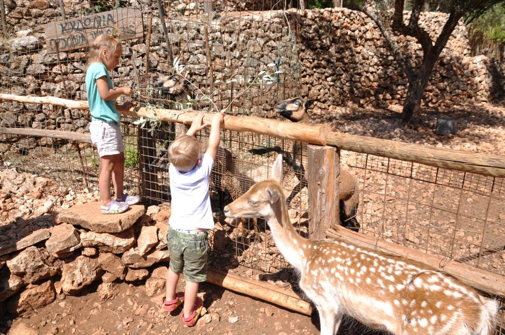 Кормим африканских овечка в парке Аскос