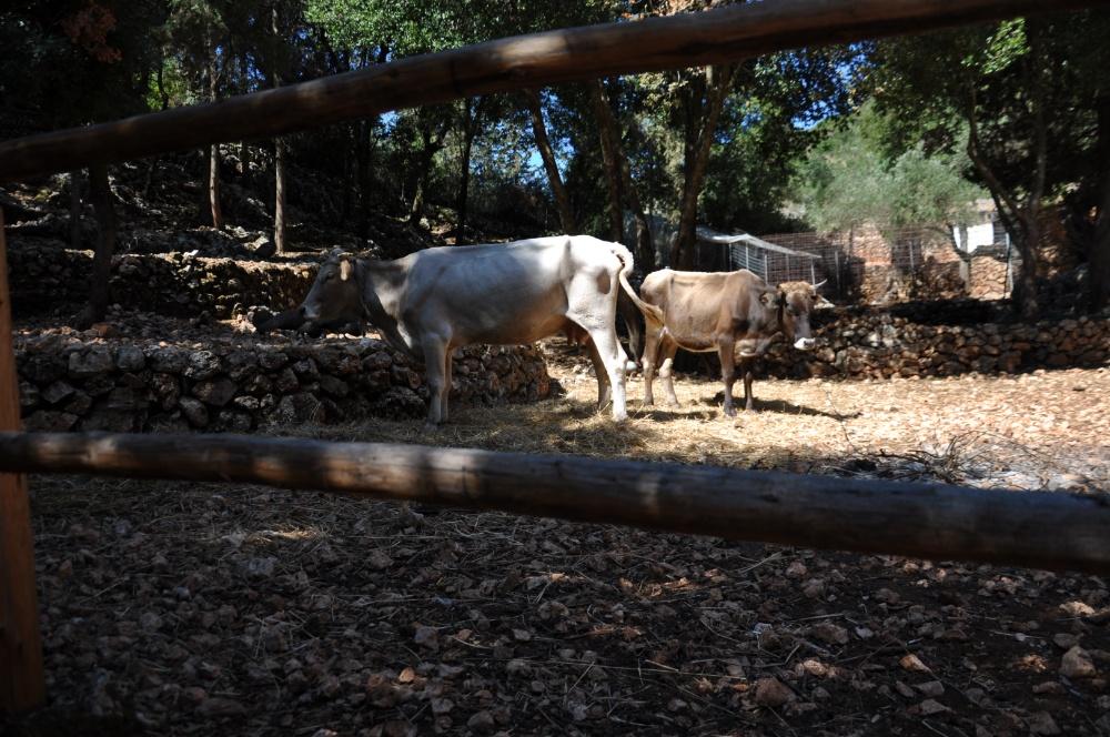 Коровы в парке Аскос