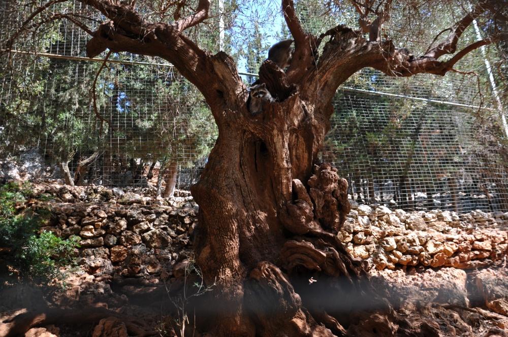 Еноты выглядывают из за ветвей оливы