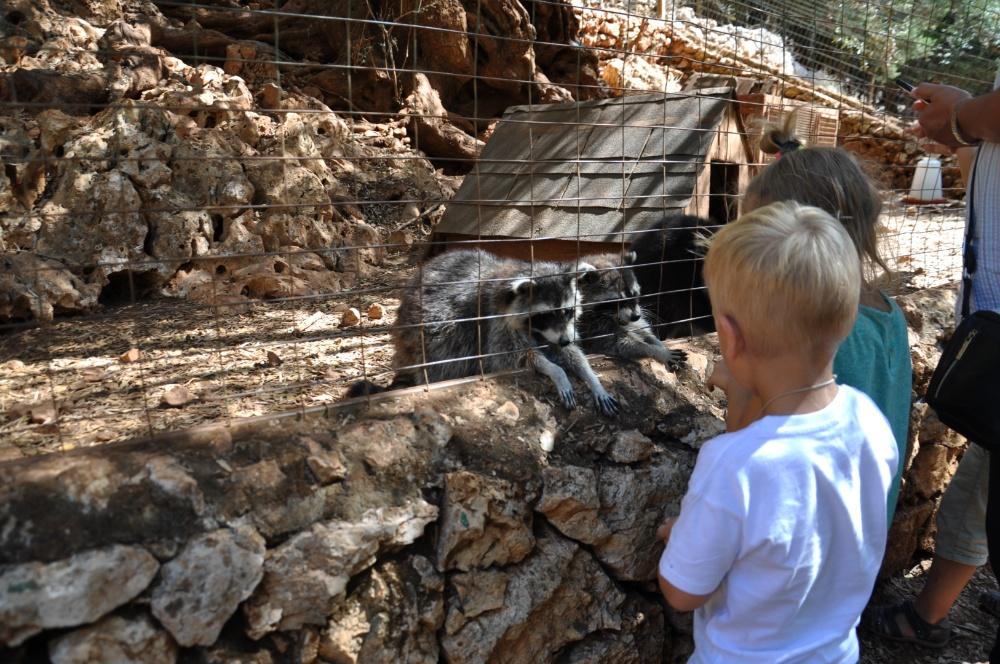 Кормим енотов в парке Аскос