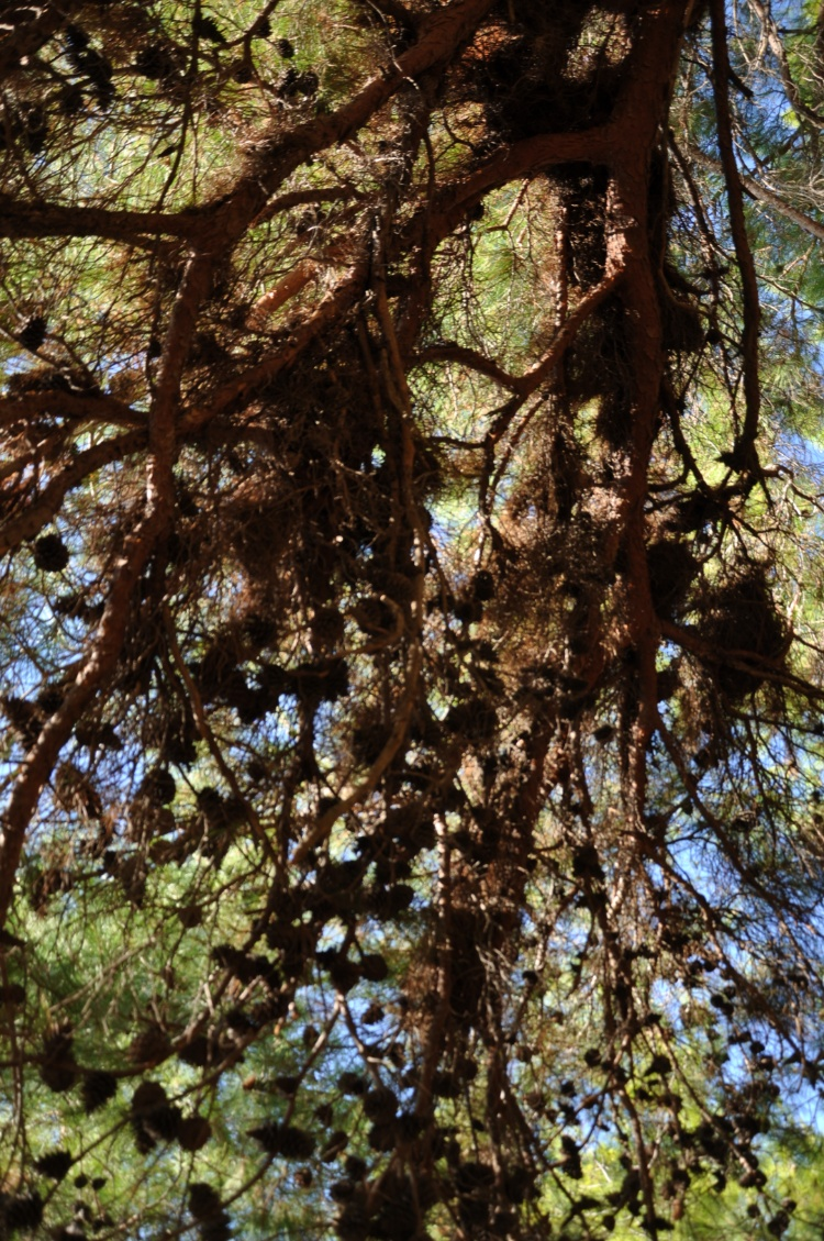Усыпанные шишками сосновые ветви