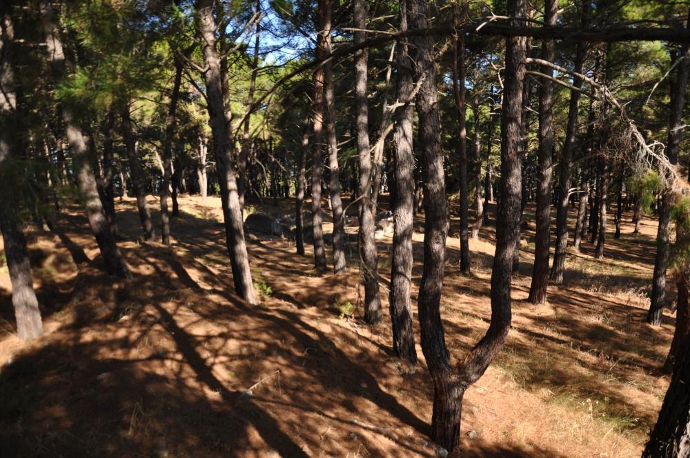 Сосновый парк в Бохали