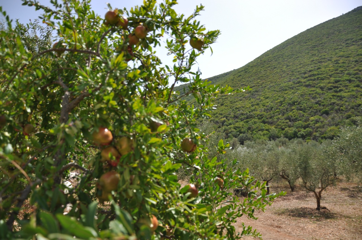 Грушовое дерево в Art & wine winery