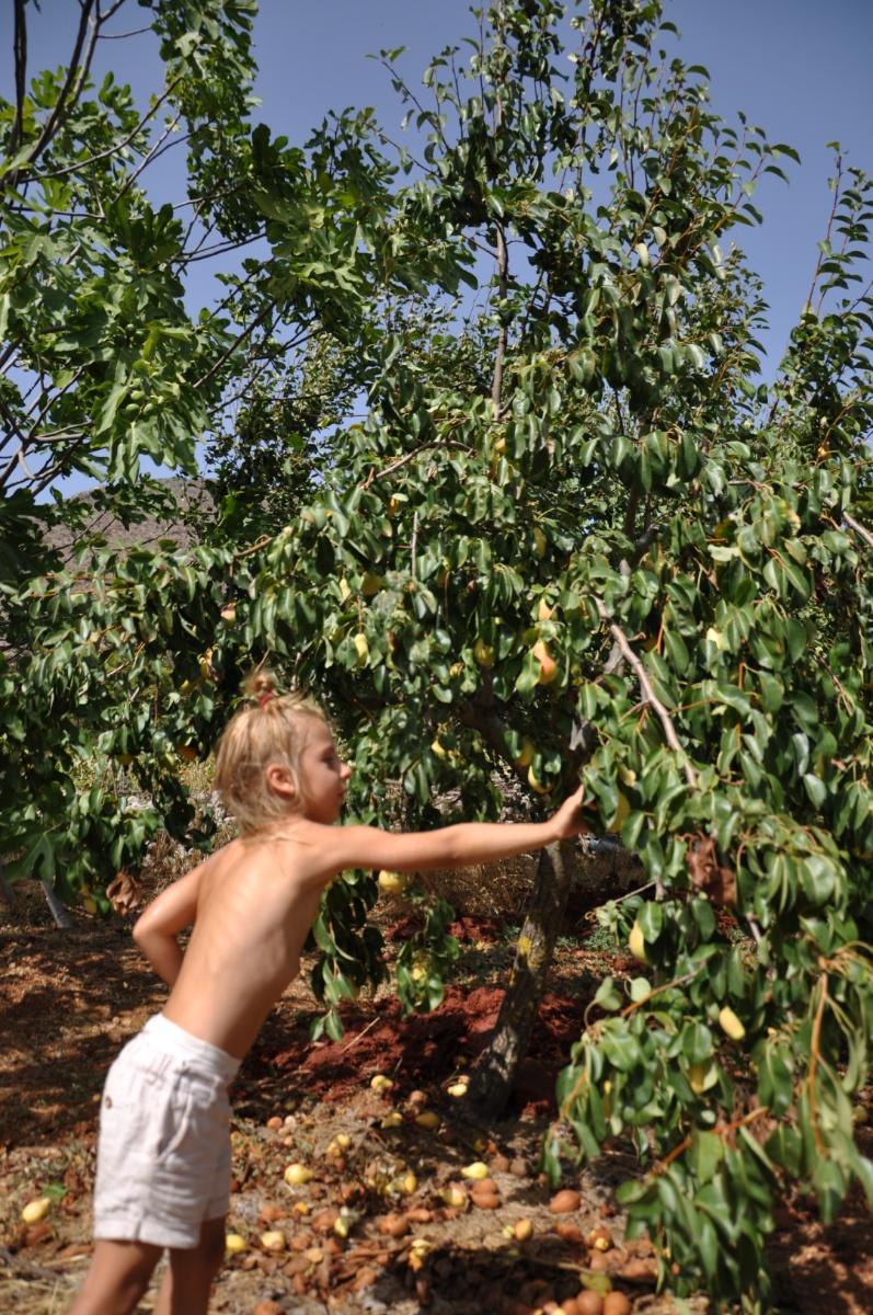 Срываю грушу в саду Art & wine winery