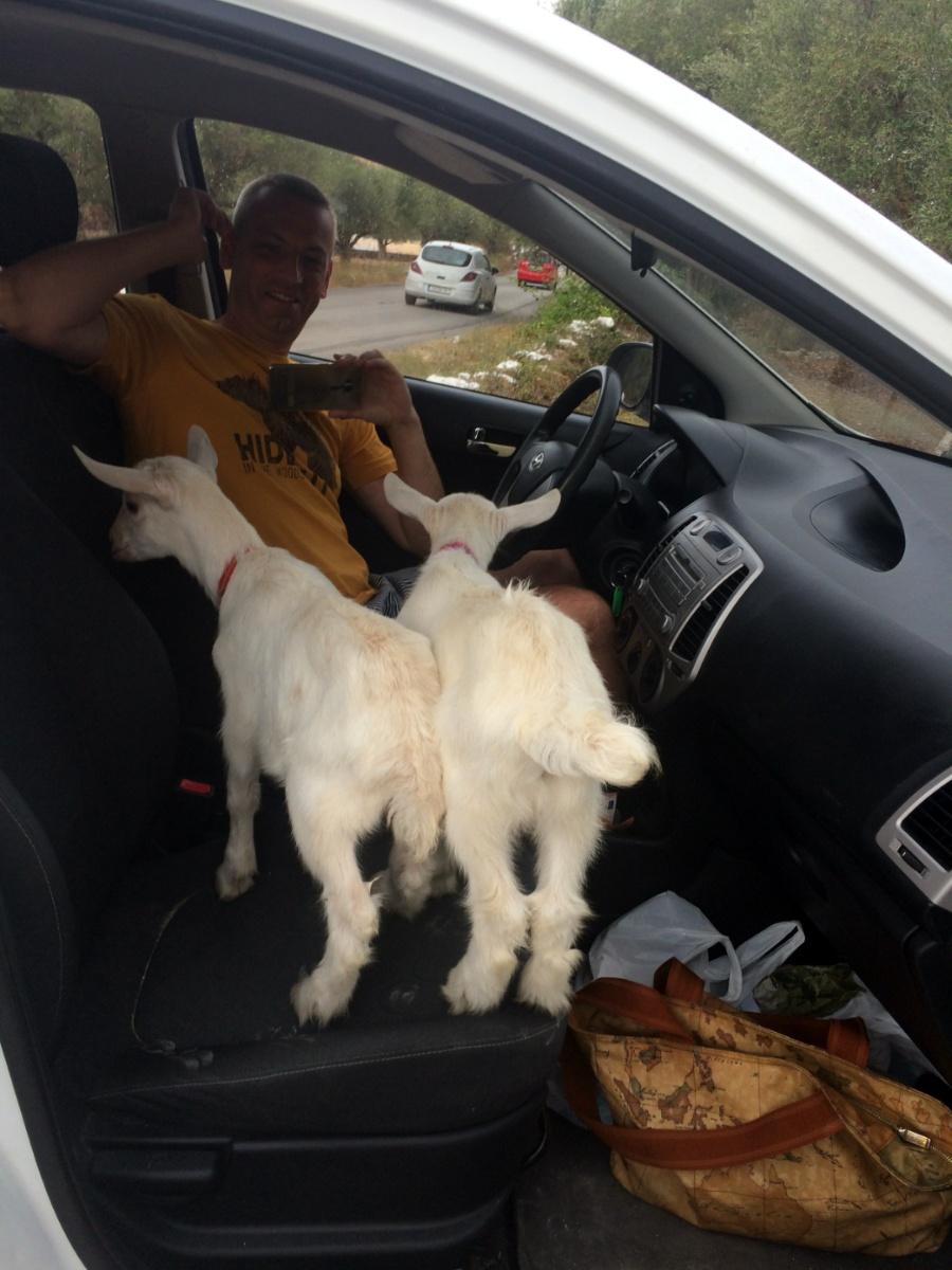 Козлята запрыгивают на пассажирское сидение автомобиля