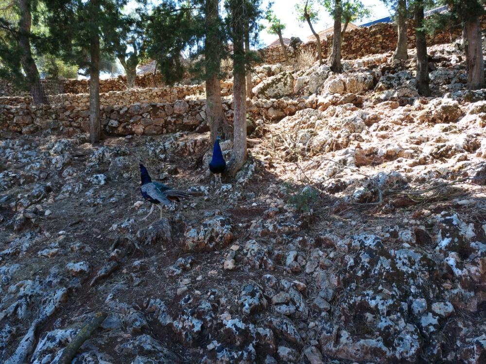 Павлины в парке Аскос