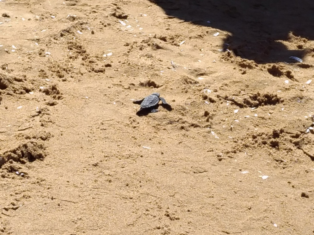 Черепашка каретта-каретта пробирается к морю