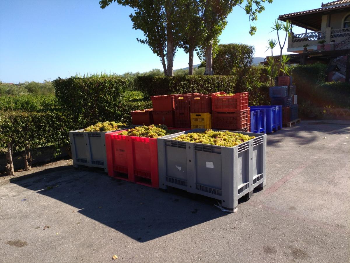 Ящики с виноградом в винотерии Калинико