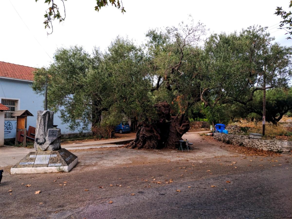 Самое старое оливковое дерево в Эксо Хора