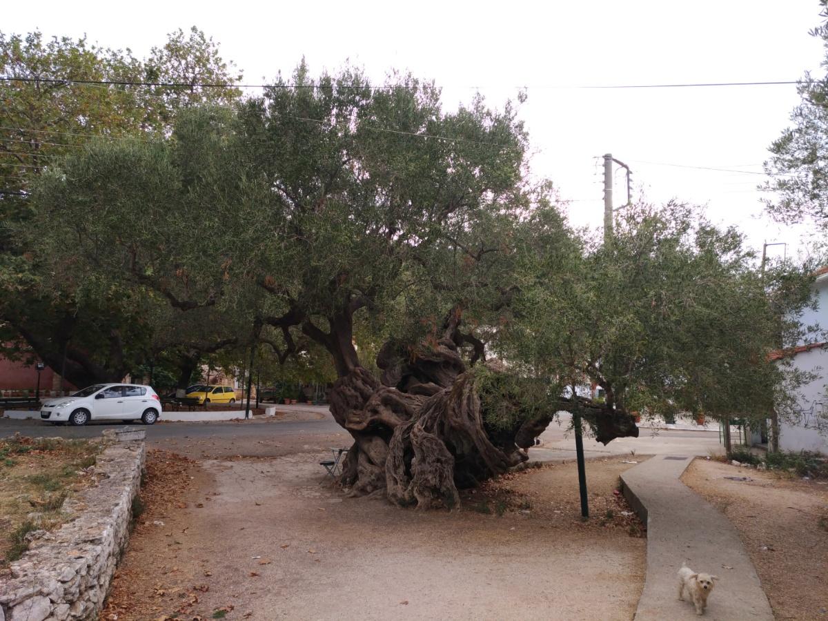 Древняя оливка в Эксо Хора