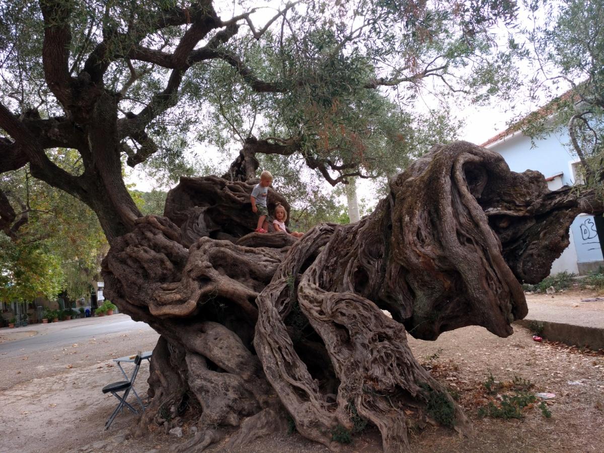Сидим с Тёмой на ветвях оливкового дерева