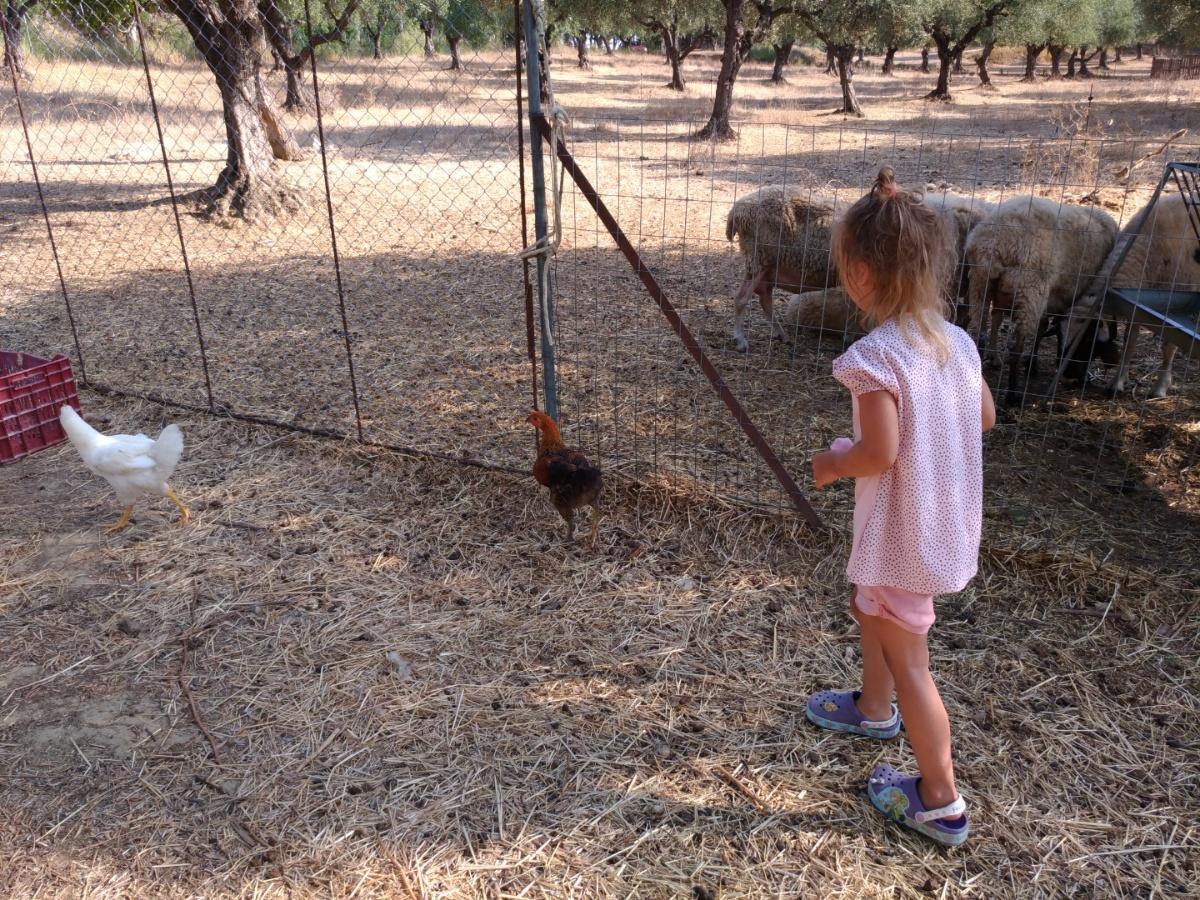 Овцы на территории таверны Lithes